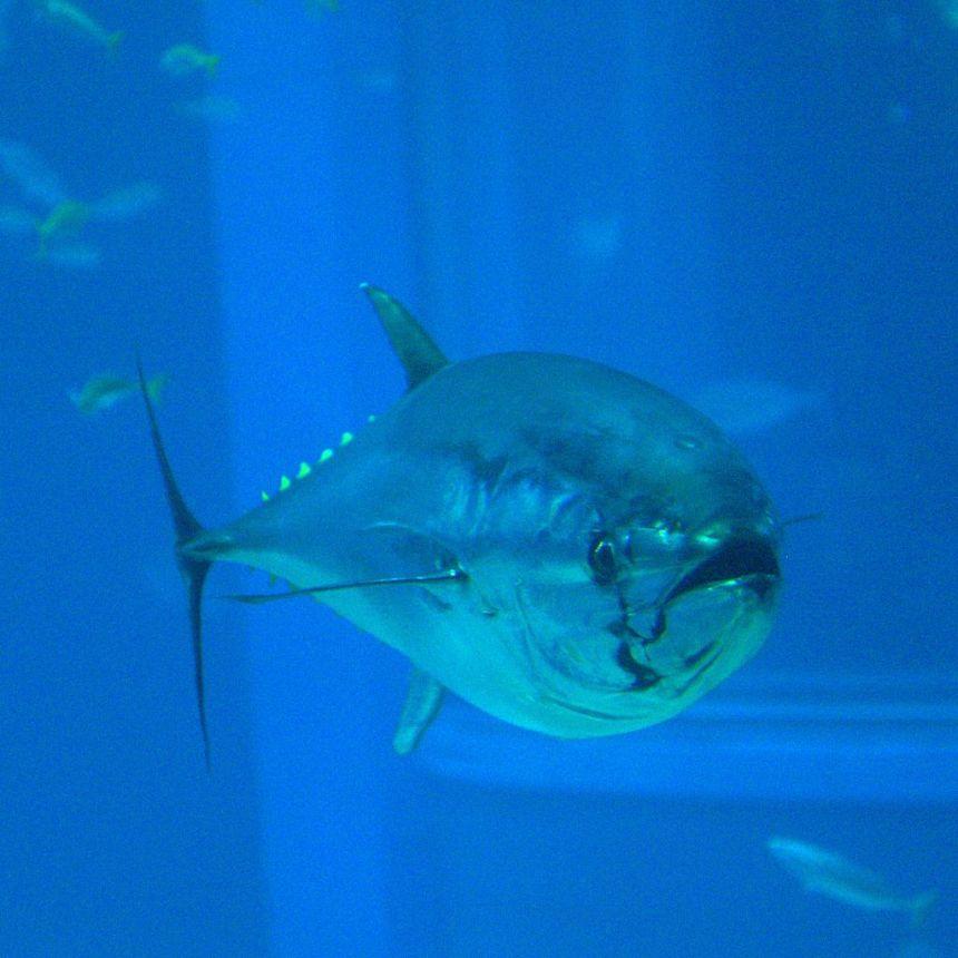 1024px-Thunnus_orientalis_(Osaka_Kaiyukan_Aquarium)
